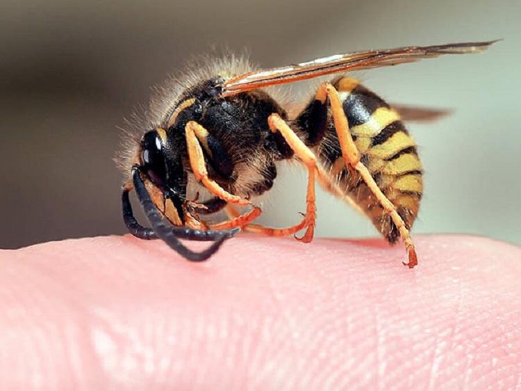 Trị ong đốt