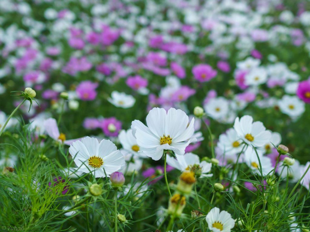 Hoa ngũ sắc (hoa cứt lợn)