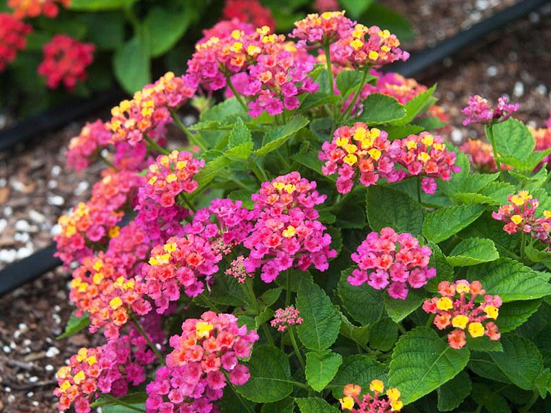 Cần sử dụng hoa ngũ sắc theo hướng dẫn để hiệu quả tốt nhất