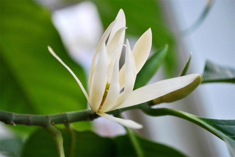 Ở Việt Nam, hoa ngọc lan được trồng phổ biến ở khắp cả nước