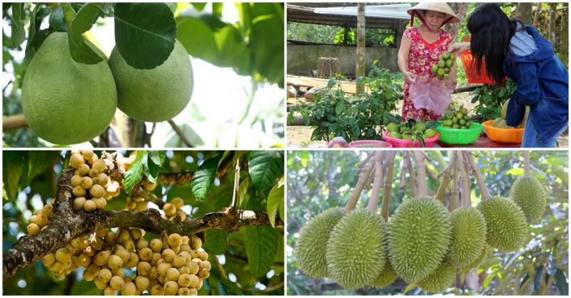 Làng trái cây Đại Bình